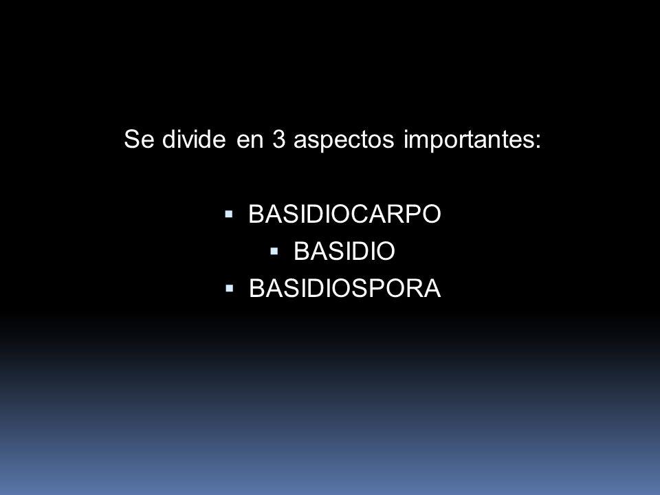Se divide en 3 aspectos importantes: BASIDIOCARPO BASIDIO BASIDIOSPORA