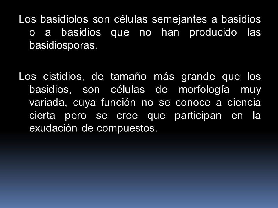 Los basidiolos son células semejantes a basidios o a basidios que no han producido las basidiosporas. Los cistidios, de tamaño más grande que los basi