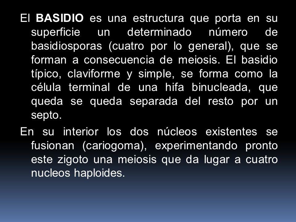 El BASIDIO es una estructura que porta en su superficie un determinado número de basidiosporas (cuatro por lo general), que se forman a consecuencia d