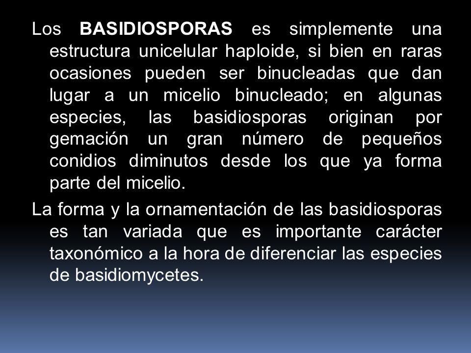 Los BASIDIOSPORAS es simplemente una estructura unicelular haploide, si bien en raras ocasiones pueden ser binucleadas que dan lugar a un micelio binu