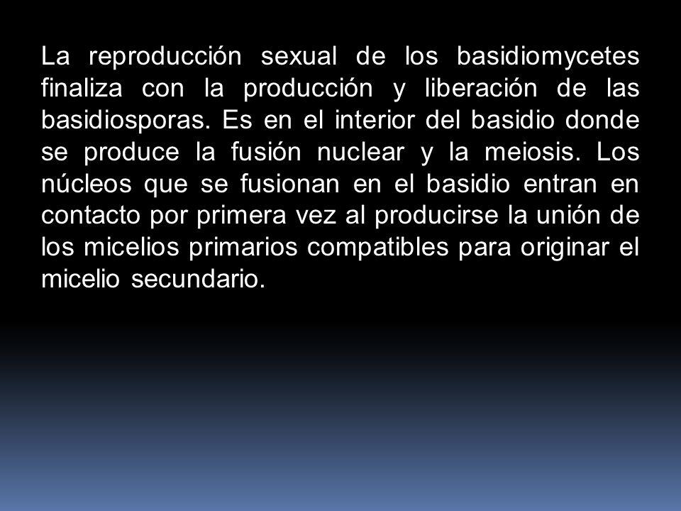 La reproducción sexual de los basidiomycetes finaliza con la producción y liberación de las basidiosporas. Es en el interior del basidio donde se prod