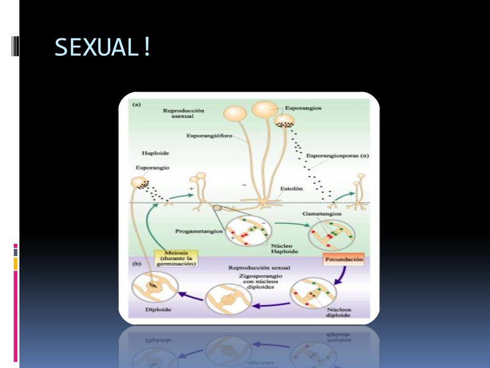 Cada compartimiento generalmente contiene un núcleo separado, pero los tabiques tienen poros a través de los cuales pueden moverse el citoplasma y los núcleos.