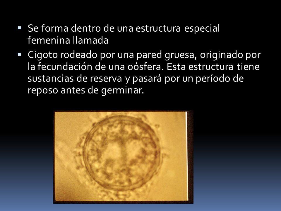 Se forma dentro de una estructura especial femenina llamada Cigoto rodeado por una pared gruesa, originado por la fecundación de una oósfera. Esta est
