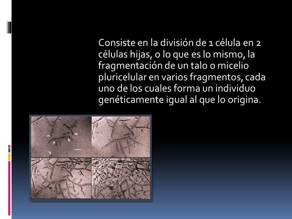Consiste en la división de 1 célula en 2 células hijas, o lo que es lo mismo, la fragmentación de un talo o micelio pluricelular en varios fragmentos,