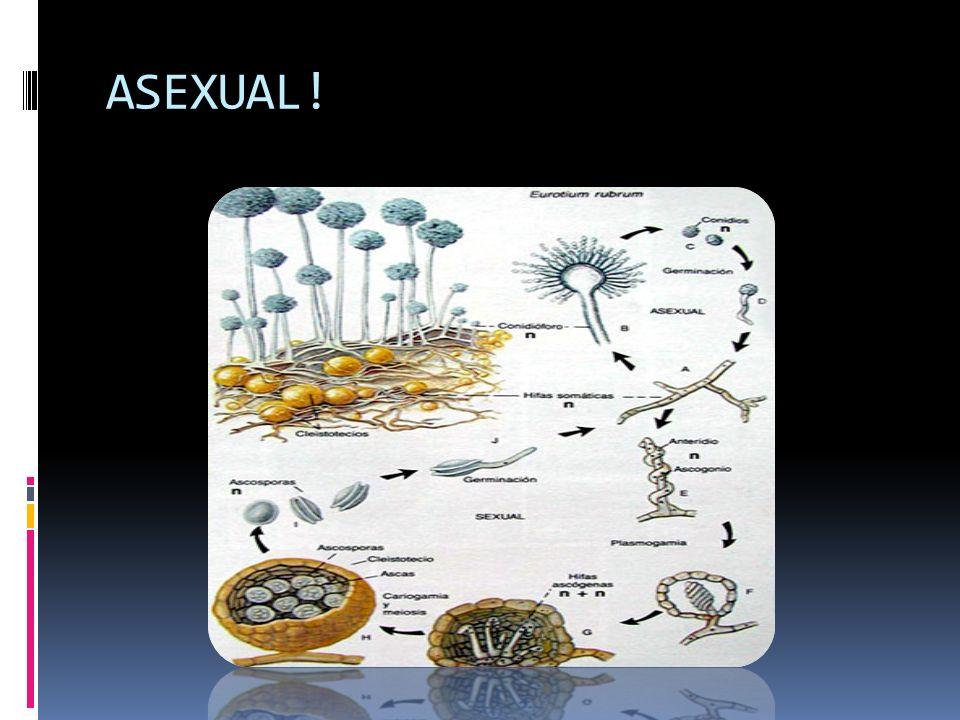LOS HONGOS PRODUCEN ESPORAS MEDIANTE CICLOS SEXUALES: PLASMOGAMIA: Los protoplastos o gametocitos se unen, los nucleos están emparejados.