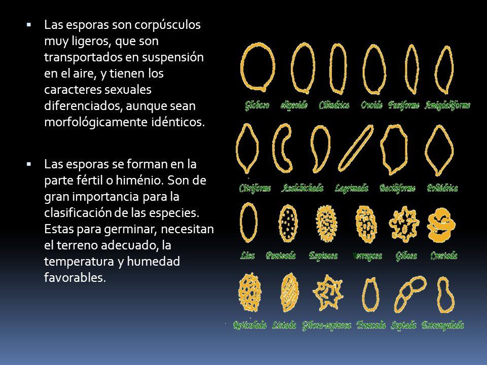 Las esporas son corpúsculos muy ligeros, que son transportados en suspensión en el aire, y tienen los caracteres sexuales diferenciados, aunque sean m