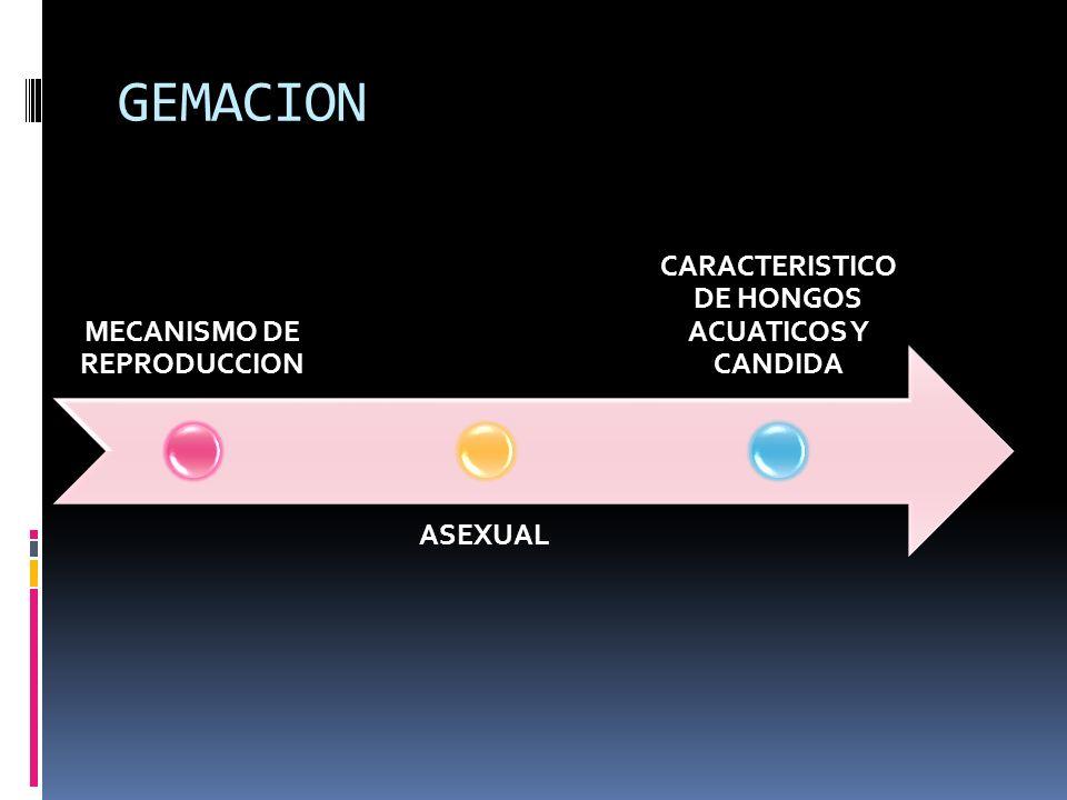 GEMACION MECANISMO DE REPRODUCCION ASEXUAL CARACTERISTICO DE HONGOS ACUATICOS Y CANDIDA