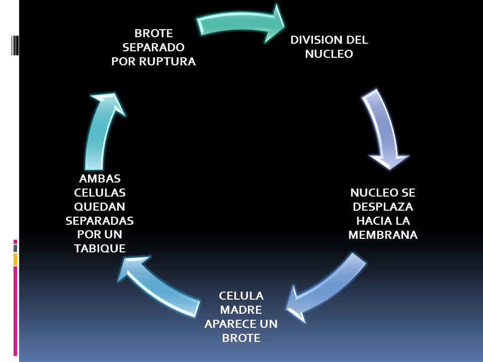 DIVISION DEL NUCLEO NUCLEO SE DESPLAZA HACIA LA MEMBRANA CELULA MADRE APARECE UN BROTE AMBAS CELULAS QUEDAN SEPARADAS POR UN TABIQUE BROTE SEPARADO PO