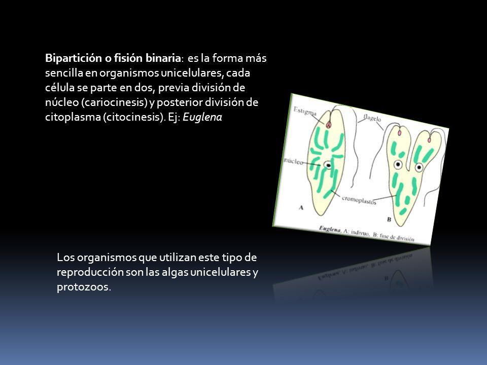 Bipartición o fisión binaria: es la forma más sencilla en organismos unicelulares, cada célula se parte en dos, previa división de núcleo (cariocinesi