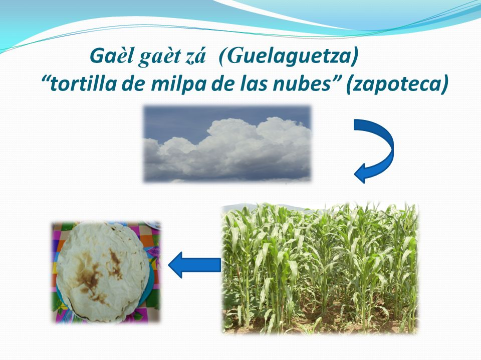 Ga èl gaèt zá (G uelaguetza) tortilla de milpa de las nubes (zapoteca)