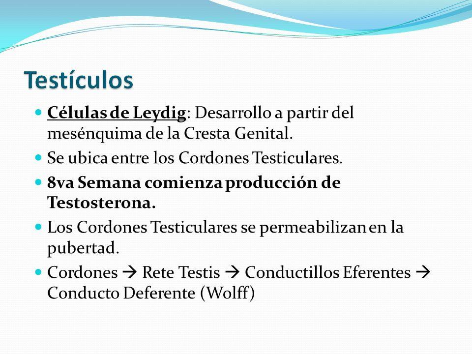 Células de Leydig: Desarrollo a partir del mesénquima de la Cresta Genital.