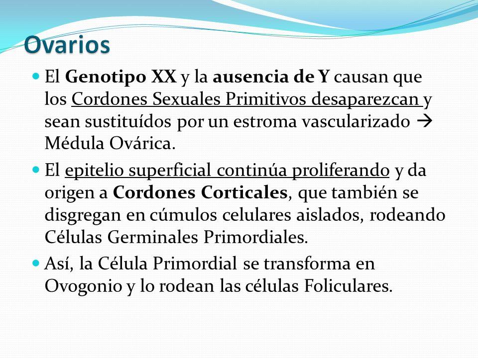 El Genotipo XX y la ausencia de Y causan que los Cordones Sexuales Primitivos desaparezcan y sean sustituídos por un estroma vascularizado Médula Ovárica.
