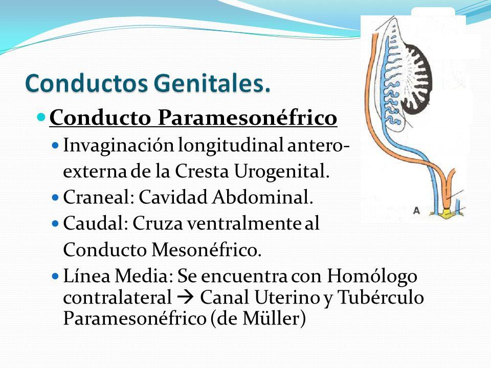 Conducto Paramesonéfrico Invaginación longitudinal antero- externa de la Cresta Urogenital.
