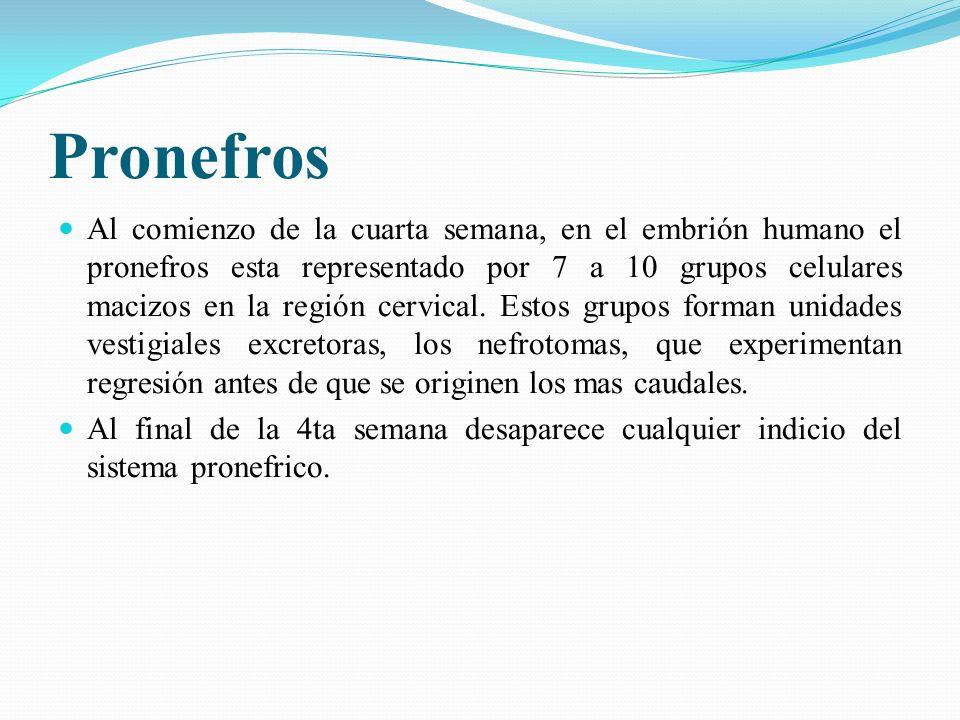Inicialmente, los embriones tanto masculinos como femeninos tienen dos pares de conductos genitales: C.