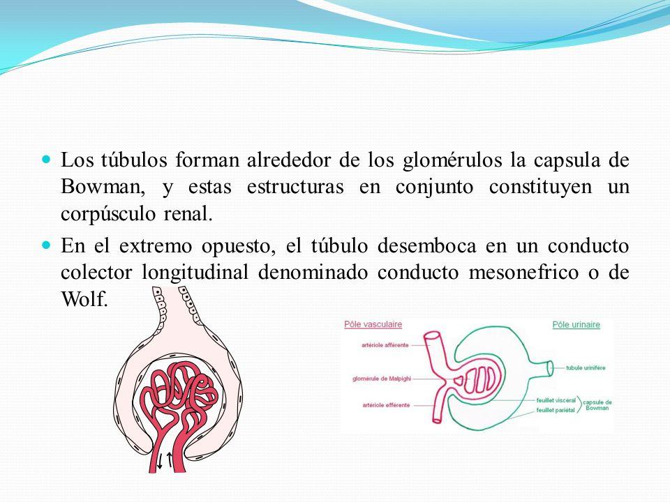 A mediados del 2do mes de desarrollo, el mesonefros da lugar a un órgano ovoide voluminoso a cada lado de la línea media.