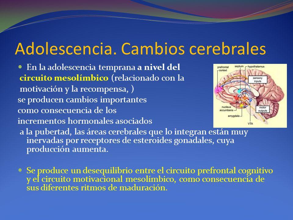 Adolescencia. Cambios cerebrales En la adolescencia temprana a nivel del circuito mesolímbico (relacionado con la motivación y la recompensa, ) se pro