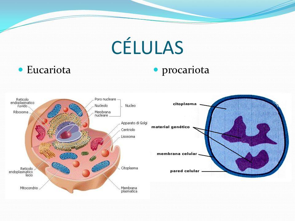 CÉLULAS procariota Eucariota