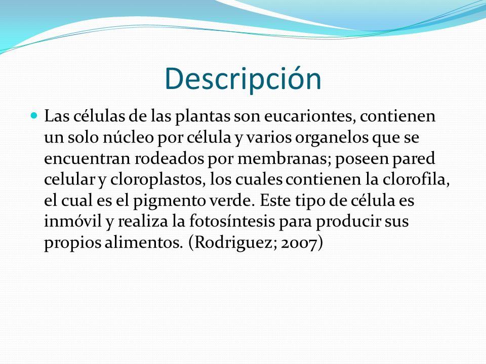 Descripción Las células de las plantas son eucariontes, contienen un solo núcleo por célula y varios organelos que se encuentran rodeados por membranas; poseen pared celular y cloroplastos, los cuales contienen la clorofila, el cual es el pigmento verde.