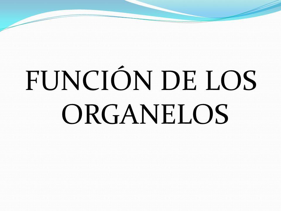 FUNCIÓN DE LOS ORGANELOS