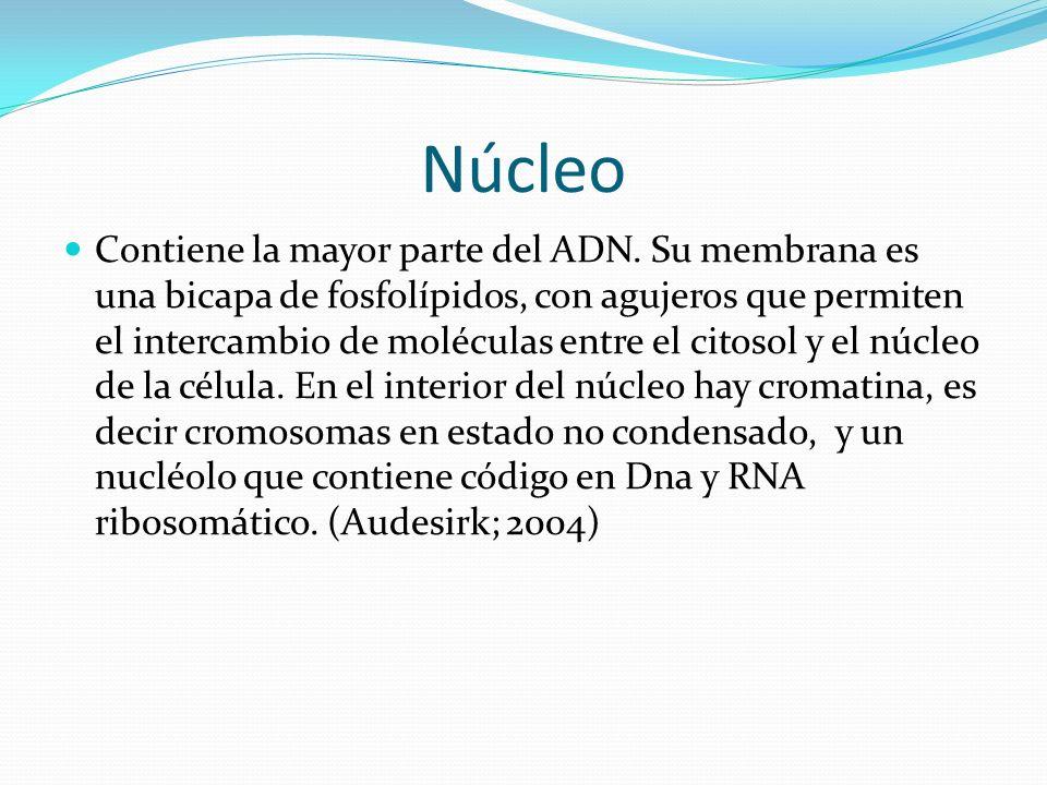 Núcleo Contiene la mayor parte del ADN.