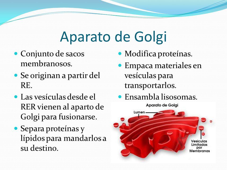 Aparato de Golgi Conjunto de sacos membranosos.Se originan a partir del RE.