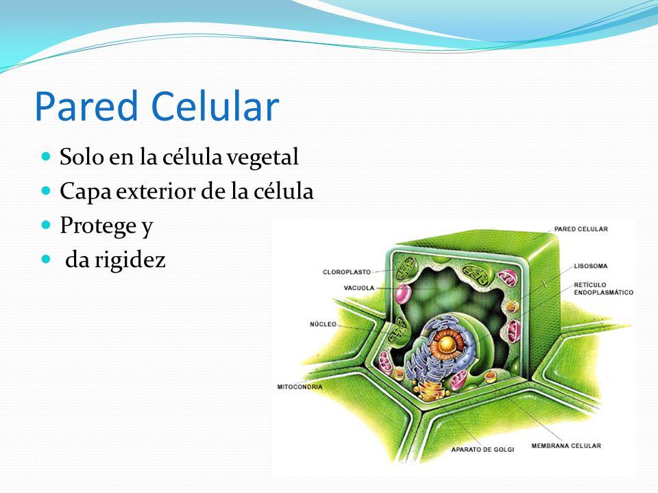 Pared Celular Solo en la célula vegetal Capa exterior de la célula Protege y da rigidez