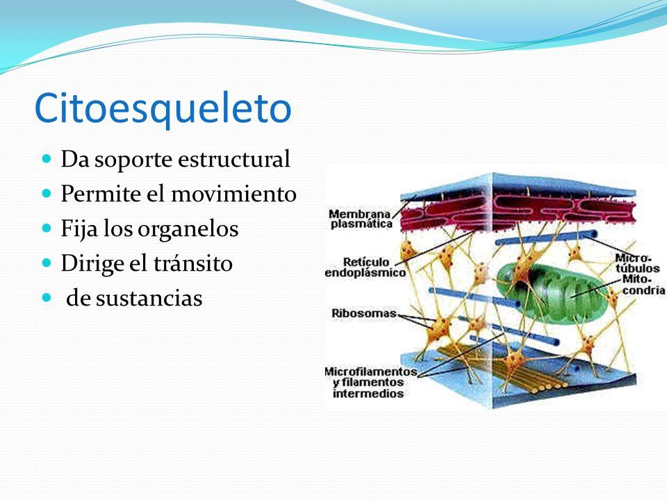 Citoesqueleto Da soporte estructural Permite el movimiento Fija los organelos Dirige el tránsito de sustancias