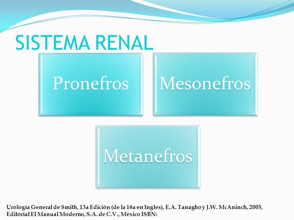 METANEFROS Riñones permanentes Los conductos colectores del riñón se desarrollan de la yema ureteral Pelvis renal primitiva