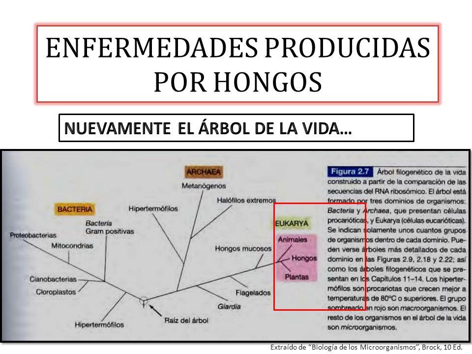 ENFERMEDADES PRODUCIDAS POR HONGOS Extraído de Biología de los Microorganismos, Brock, 10 Ed.