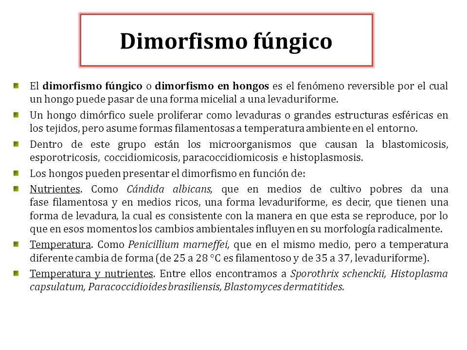 Dimorfismo fúngico El dimorfismo fúngico o dimorfismo en hongos es el fenómeno reversible por el cual un hongo puede pasar de una forma micelial a una