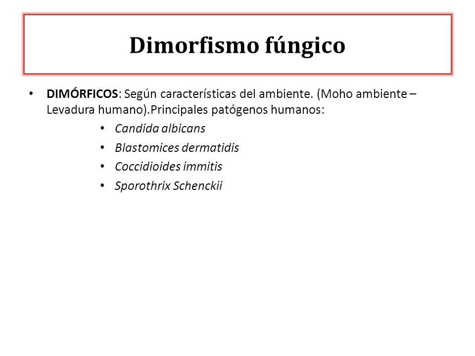 DIMÓRFICOS: Según características del ambiente. (Moho ambiente – Levadura humano).Principales patógenos humanos: Candida albicans Blastomices dermatid