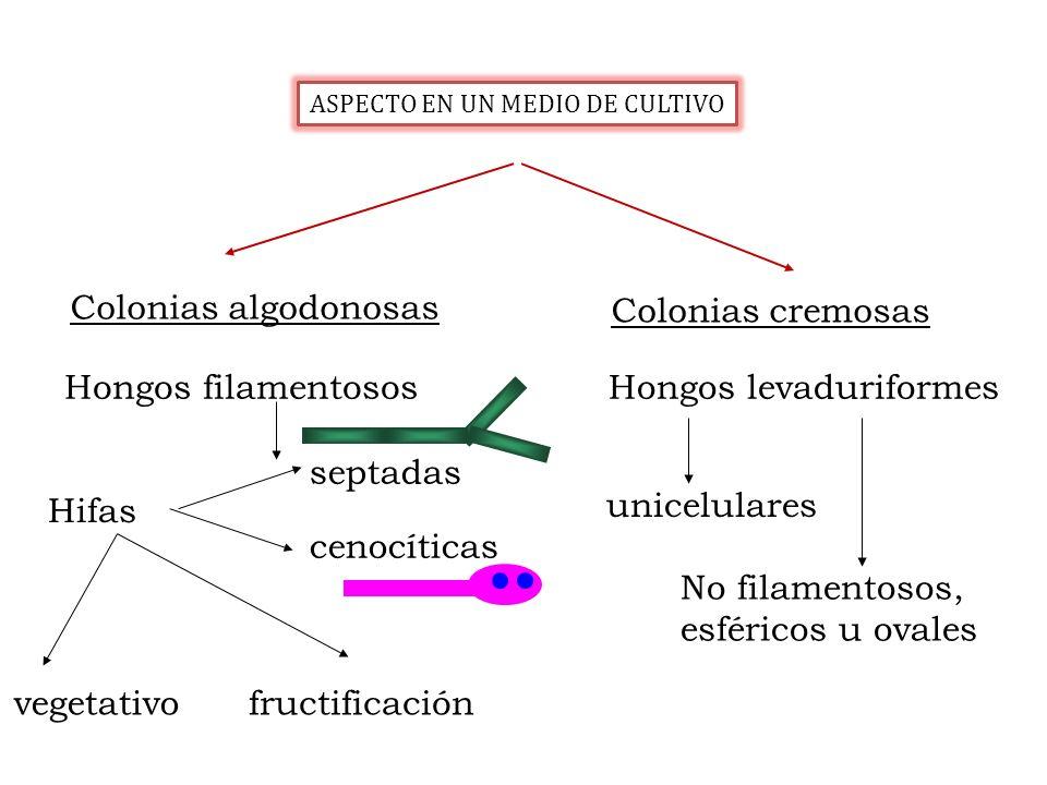 Hongos filamentososHongos levaduriformes Hifas vegetativofructificación unicelulares No filamentosos, esféricos u ovales Colonias algodonosas Colonias