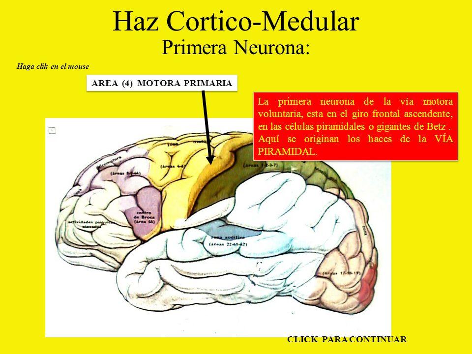 Haz Cortico-Medular Primera Neurona: Haga clik en el mouse AREA (4) MOTORA PRIMARIA La primera neurona de la vía motora voluntaria, esta en el giro frontal ascendente, en las células piramidales o gigantes de Betz.