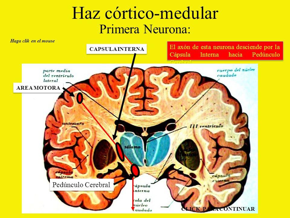 Haz córtico-medular Primera Neurona: El axón de esta neurona desciende por la Cápsula Interna hacia Pedúnculo Cerebral.