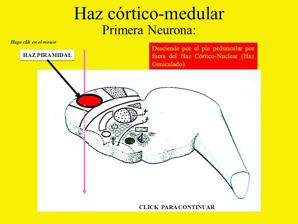 Haz córtico-medular Primera Neurona: Desciende por el pie peduncular por fuera del Haz Córtico-Nuclear (Haz Geniculado).