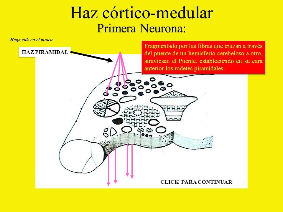 Haz córtico-medular Primera Neurona: Haga clik en el mouse HAZ PIRAMIDAL Fragmentado por las fibras que cruzan a través del puente de un hemisferio cerebeloso a otro, atraviesan el Puente, estableciendo en su cara anterior los rodetes piramidales.