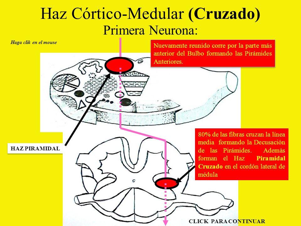 Haz Córtico-Medular (Cruzado) Primera Neurona: Haga clik en el mouse HAZ PIRAMIDAL Nuevamente reunido corre por la parte más anterior del Bulbo formando las Pirámides Anteriores.