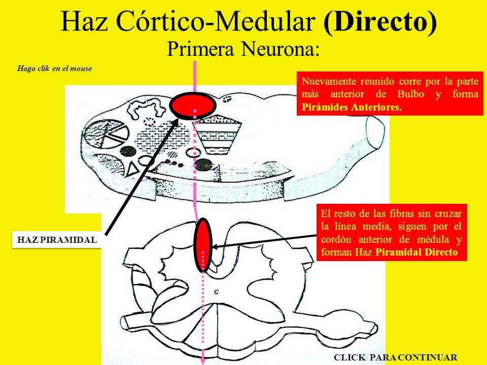 Haz Córtico-Medular (Directo) Primera Neurona: Haga clik en el mouse HAZ PIRAMIDAL El resto de las fibras sin cruzar la línea media, siguen por el cordón anterior de médula y forman Haz Piramidal Directo Nuevamente reunido corre por la parte más anterior de Bulbo y forma Pirámides Anteriores.