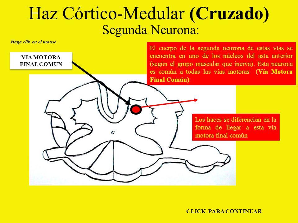 Haz Córtico-Medular (Cruzado) Segunda Neurona: Haga clik en el mouse VIA MOTORA FINAL COMUN El cuerpo de la segunda neurona de estas vías se encuentra en uno de los núcleos del asta anterior (según el grupo muscular que inerva).