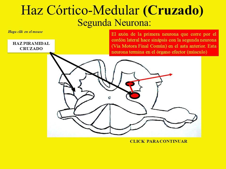Haz Córtico-Medular (Cruzado) Segunda Neurona: Haga clik en el mouse HAZ PIRAMIDAL CRUZADO El axón de la primera neurona que corre por el cordón lateral hace sinápsis con la segunda neurona (Vía Motora Final Común) en el asta anterior.