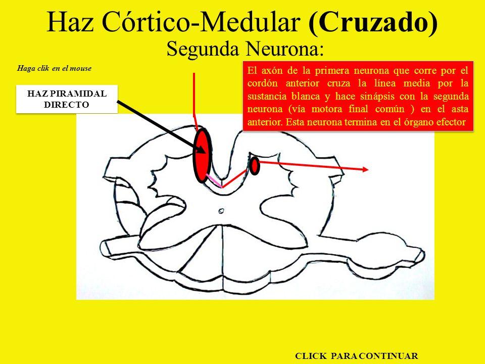 Haz Córtico-Medular (Cruzado) Segunda Neurona: HAZ PIRAMIDAL DIRECTO Haga clik en el mouse El axón de la primera neurona que corre por el cordón anterior cruza la línea media por la sustancia blanca y hace sinápsis con la segunda neurona (vía motora final común ) en el asta anterior.
