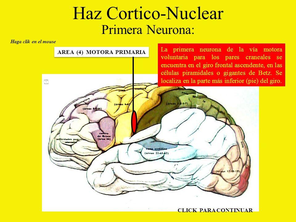 Haz Cortico-Nuclear Primera Neurona: Haga clik en el mouse AREA (4) MOTORA PRIMARIA La primera neurona de la vía motora voluntaria para los pares craneales se encuentra en el giro frontal ascendente, en las células piramidales o gigantes de Betz.