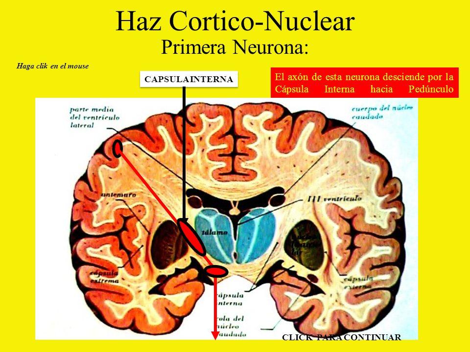 Haz Cortico-Nuclear Primera Neurona: El axón de esta neurona desciende por la Cápsula Interna hacia Pedúnculo Cerebral.