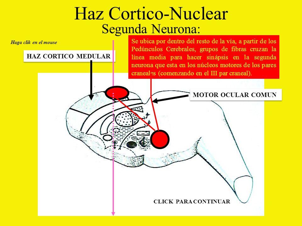 Haz Cortico-Nuclear Segunda Neurona: Haga clik en el mouse HAZ CORTICO MEDULAR Se ubica por dentro del resto de la vía, a partir de los Pedúnculos Cerebrales, grupos de fibras cruzan la línea media para hacer sinápsis en la segunda neurona que esta en los núcleos motores de los pares craneales (comenzando en el III par craneal).