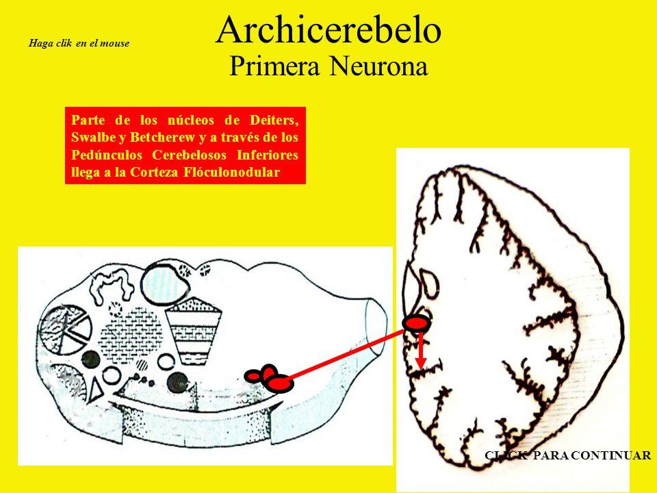 Archicerebelo Primera Neurona Parte de los núcleos de Deiters, Swalbe y Betcherew y a través de los Pedúnculos Cerebelosos Inferiores llega a la Corteza Flóculonodular Haga clik en el mouse CLICK PARA CONTINUAR