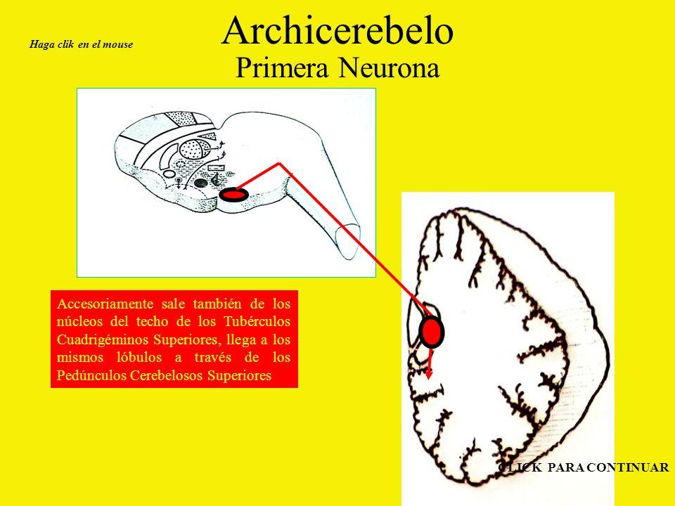 Archicerebelo Primera Neurona Accesoriamente sale también de los núcleos del techo de los Tubérculos Cuadrigéminos Superiores, llega a los mismos lóbulos a través de los Pedúnculos Cerebelosos Superiores Haga clik en el mouse CLICK PARA CONTINUAR