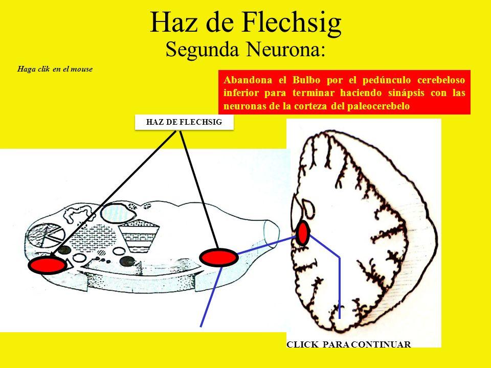 Haz de Flechsig Segunda Neurona: Abandona el Bulbo por el pedúnculo cerebeloso inferior para terminar haciendo sinápsis con las neuronas de la corteza del paleocerebelo Haga clik en el mouse HAZ DE FLECHSIG CLICK PARA CONTINUAR