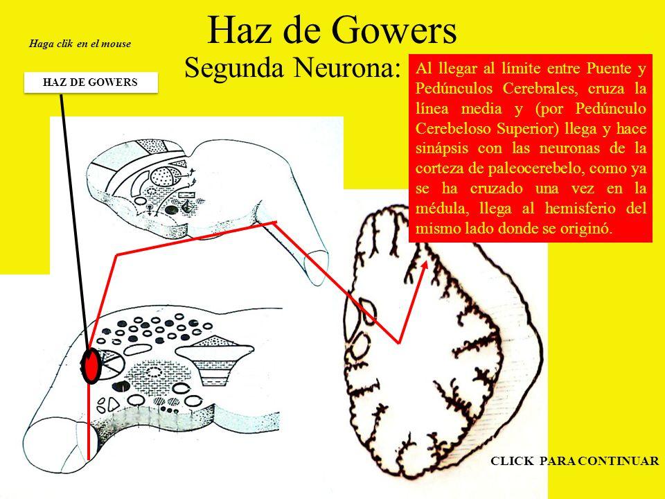 Haz de Gowers Segunda Neurona: Haga clik en el mouse HAZ DE GOWERS CLICK PARA CONTINUAR Al llegar al límite entre Puente y Pedúnculos Cerebrales, cruza la línea media y (por Pedúnculo Cerebeloso Superior) llega y hace sinápsis con las neuronas de la corteza de paleocerebelo, como ya se ha cruzado una vez en la médula, llega al hemisferio del mismo lado donde se originó.