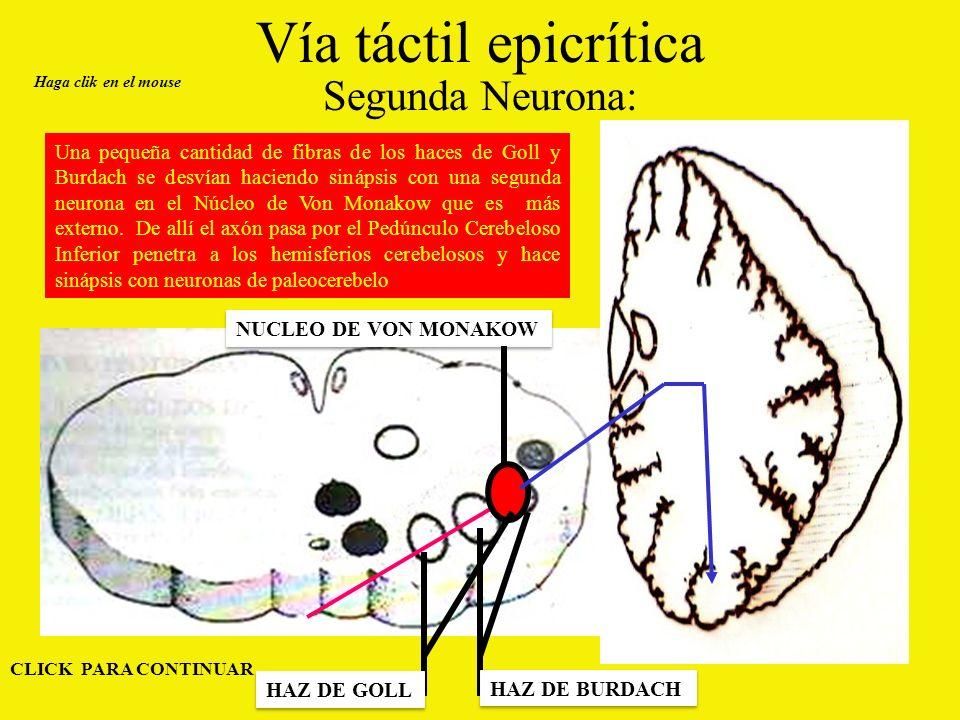 Vía táctil epicrítica Segunda Neurona: Haga clik en el mouse NUCLEO DE VON MONAKOW CLICK PARA CONTINUAR Una pequeña cantidad de fibras de los haces de Goll y Burdach se desvían haciendo sinápsis con una segunda neurona en el Núcleo de Von Monakow que es más externo.