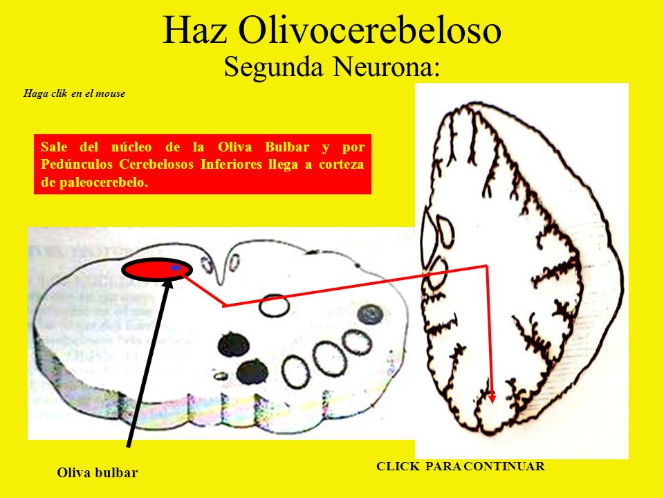 Haz Olivocerebeloso Segunda Neurona: Haga clik en el mouse Oliva bulbar CLICK PARA CONTINUAR Sale del núcleo de la Oliva Bulbar y por Pedúnculos Cerebelosos Inferiores llega a corteza de paleocerebelo.